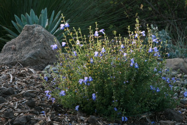 Salvia muirii basking in the afternoon sun with other dryland companions. Photo: Jennifer Jewell.