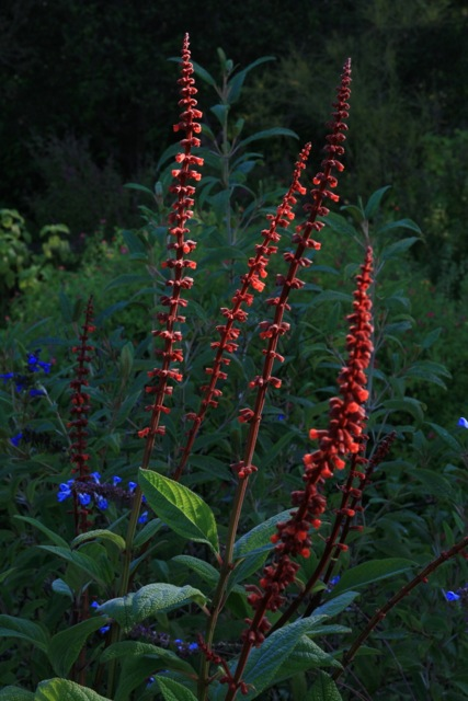 Tall, elegant spires of Brazil's Salvia confertiflora in the morning sun. Photo: Jennifer Jewell.