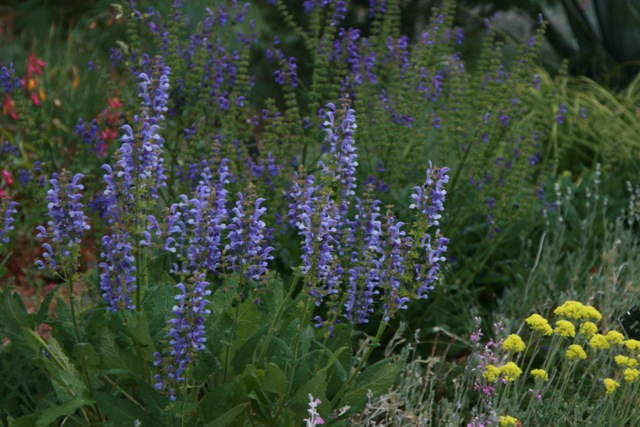 A dryland, meadow-like display at the Denver Botanic Gardens, featuring sweeps of the velevety blue-purple of Salvia praetensis.Photo: Jennifer Jewell.