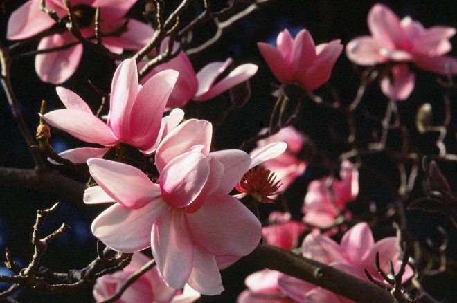 Pacific Horticulture Society Marvelous Magnolias At The San