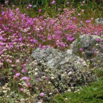 Farewell to spring (Clarkia rubicunda) and buckwheat (Eriognonum latifolium) Photo: Don Mahoney
