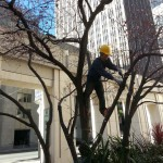 I caught up with an arborist at work at 50 Fremont who told me plantings of roses and boxwoods have been replaced with Mediterranean climate plants under the shade of the plum trees—and native frogs have taken up residence. Photo: Zann Cannon Goff