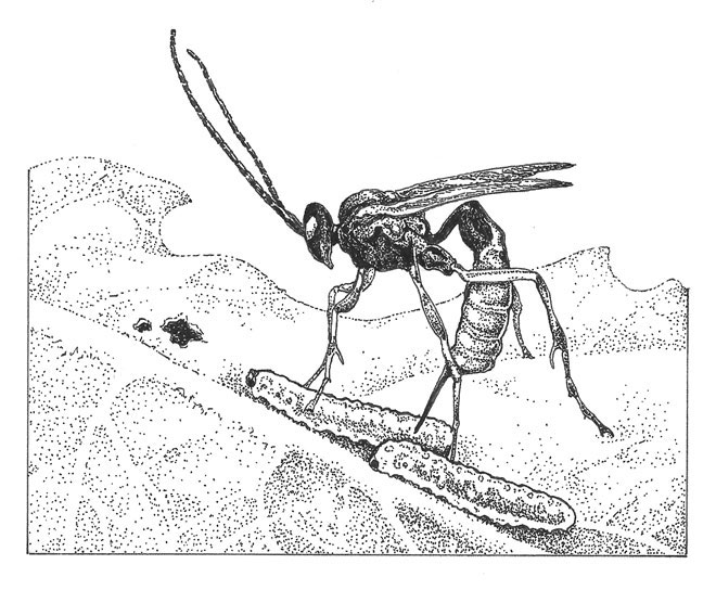 The parasitic wasp Hyposoter exiguae.