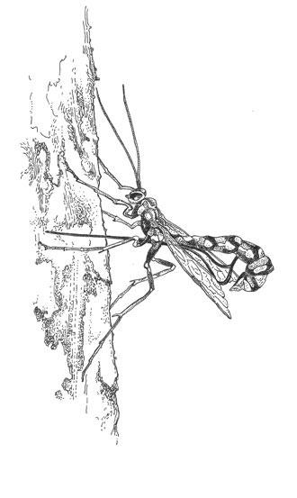 Western giant ichneumon (Megarhyssa nortoni)