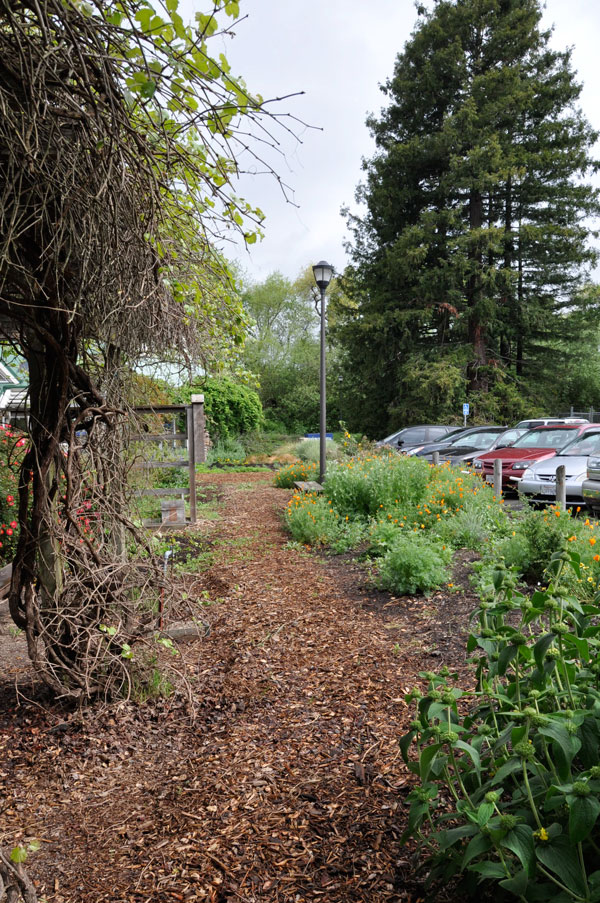 This new hedgerow at Sonoma State University will grow four to six feet tall to hide the parking lot from the adjacent grape arbor, and provide nectar and pollen for beneficial insects. Photos: Frederique Lavoipierre