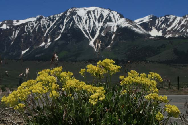 Even at an elevation of 4200 feet, the electric yellow flowers of wild sulphur buckwheat (Eriogonum umbellatum hold their own at the base of the majestic White Mountains of the eastern Sierra Nevada. Photo: Jennifer Jewell