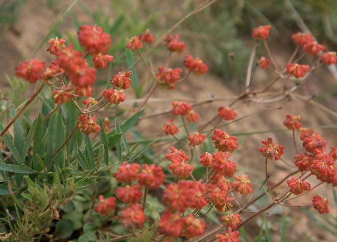 The natural range of colors in wild buckwheat is wide. Here a wild eriogonum sporting rich orange-red blooms in the Three Sisters Wilderness of central Oregon's Willamette National Forest.  Photo: Jennifer Jewell