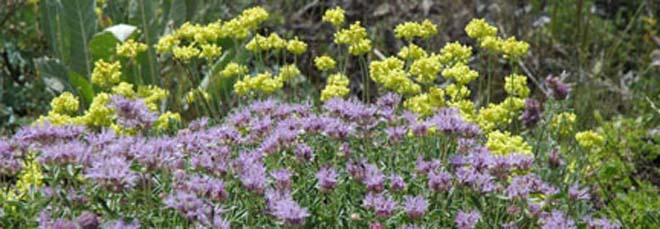 Wild native yellow sulphur buckwheat (Eriogonum umbellatum), beautifully paired by mother nature with coyote mint (Monardella sp.) on Monitor Pass in the eastern Sierra Nevada. Photo: John Whittlesey