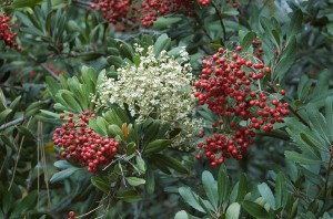 Toyon (Heteromeles arbutifolia) flowering in the San Diego Zoo landscape.  Photo: frederique Lavoipierre