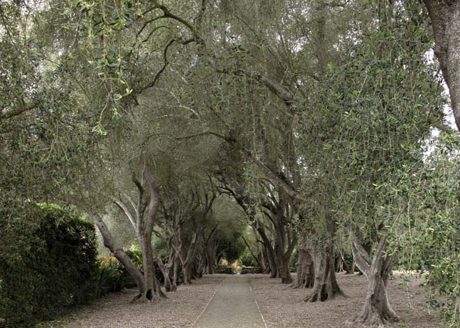 A formal allee of venerable olives at Lotusland.