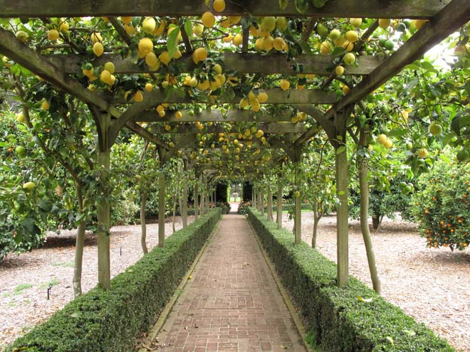 Lemons trained on pergola at Lotusland.