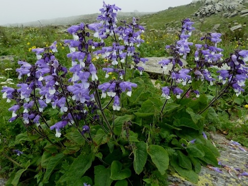 Himalayan Sage (Salvia hians) photo by Chris Chadwell