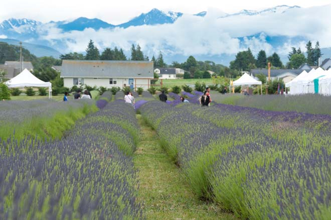 Visitors wander rows of lavender at Olympic Lavender Farm against the backdrop of the Olympic Mountains. Photo: Linda Popovich