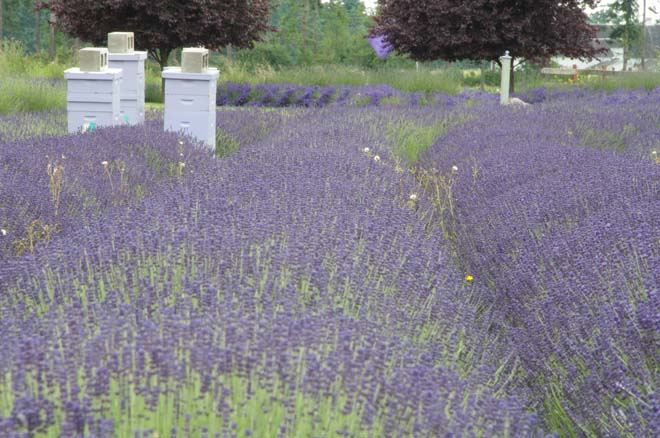 Port Williams Lavender field with bee hives. Photo: Linda Popovich