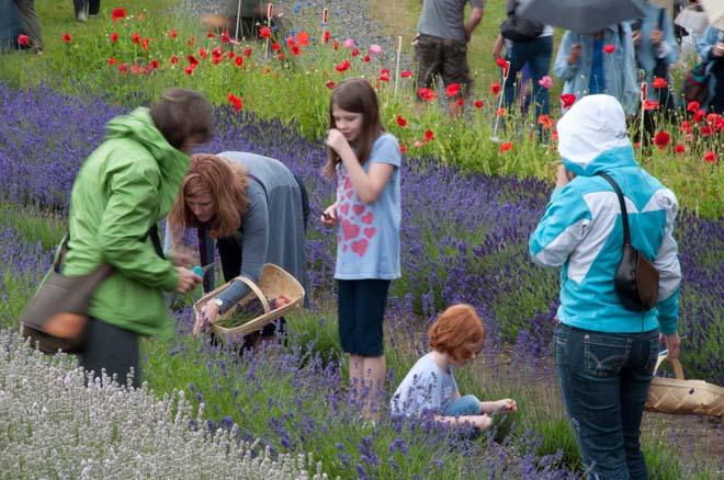 Purple Haze Lavender Farm and Store is full of lavender lovers even in the rain. Photo: Linda Popovich
