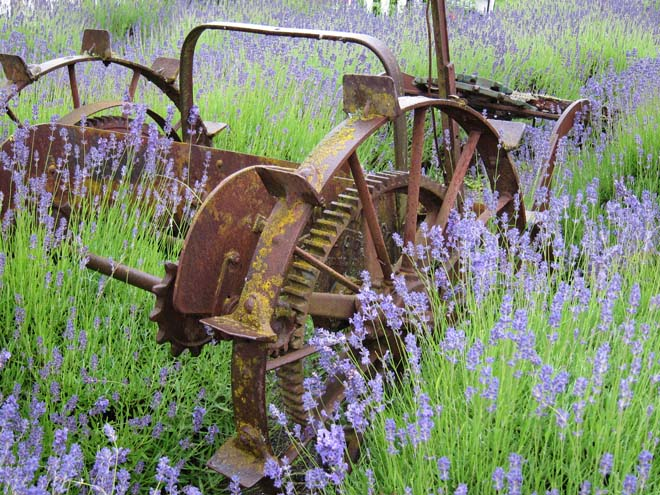 Vintage farm equipment adds to the scenery in the fields at Cedarbrook Lavender and Herb Farm. Photo: Linda Popovich