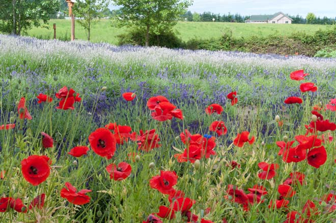 Red poppies blooming alongside rows of lavender at Purple Haze Lavender Farm. Photo: Linda Popovich