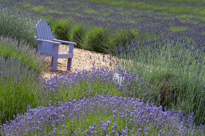 An appropriately colored purple chair for relaxing among the many varieties of lavender at Purple Haze Lavender Farm and Store. Photo: Linda Popovich