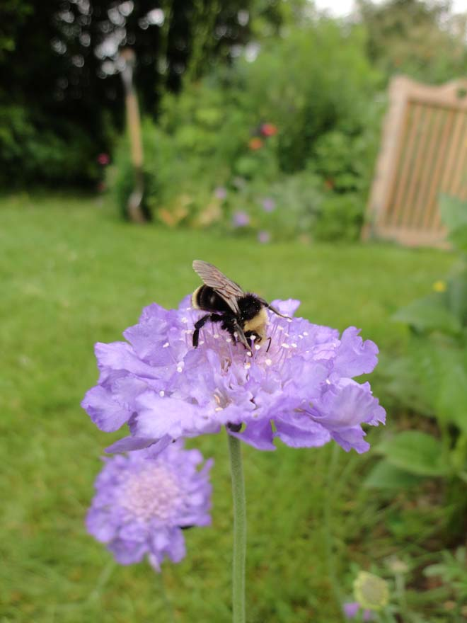 Yellow-faced bumble bee (Bombus vosnesenskii) on pincushion flower (Scabious sp.). Photo: Megan O'Donald