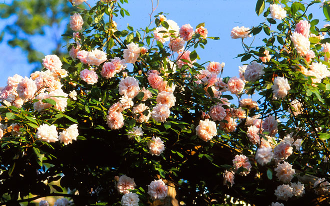 California rose pioneer Franz. B. Hosp introduced 'Climbing Cecile Brunner' in 1894. Photo: Bill Grant