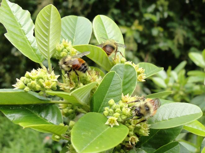 Multiple bumble bees on flowering coffeeberry (Frangula californica syn. Rhamnus californica). Photo: Megan O'Donald