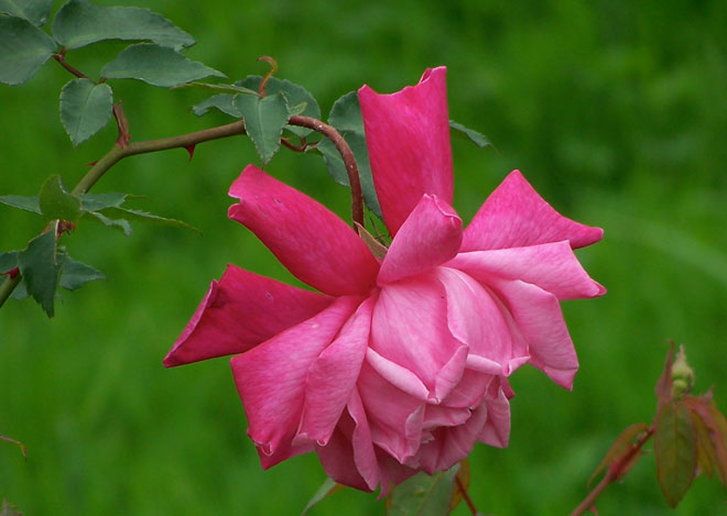 'Santa Rosa' was one of many roses developed by Luter Burbank, and one of only two that survive. Photo: Anita Clevenger