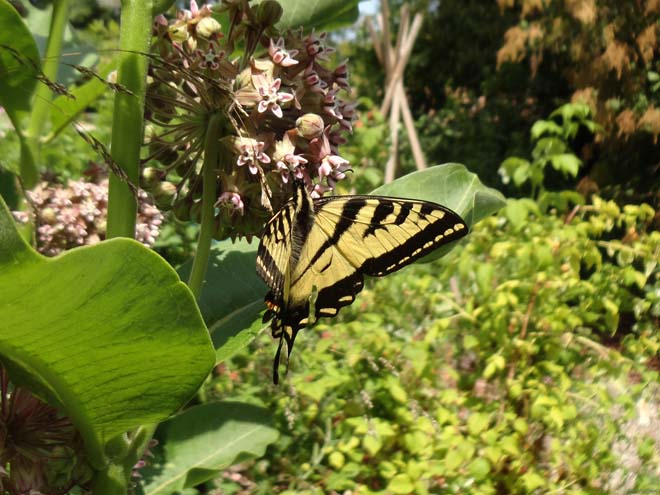 Western Tiger Swallowtail (Papillo rutulus) on show milkweed (Asclepias speciosa). Photo: Megan O'Donald