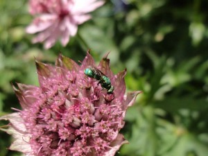 Cuckoo wasp (Chrysura sp.) on Astrantia major 'Rainbow'. Photo: Megan O'Donald
