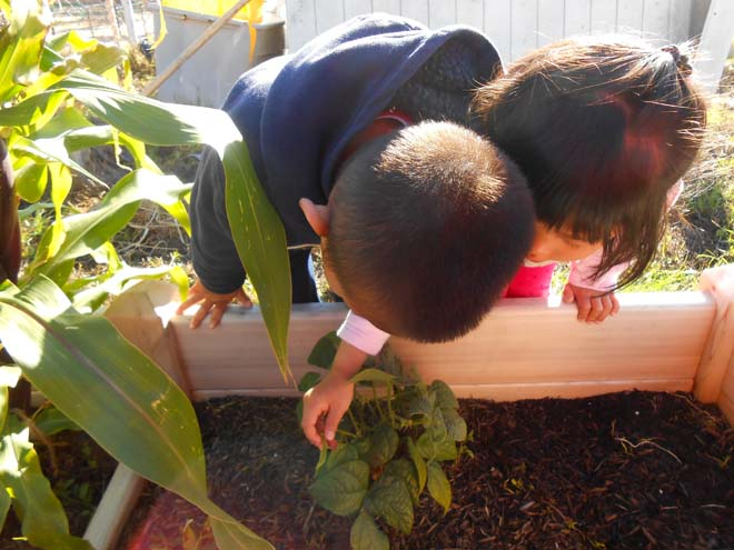 Eager preschoolers monitor their bean's progress in the garden.