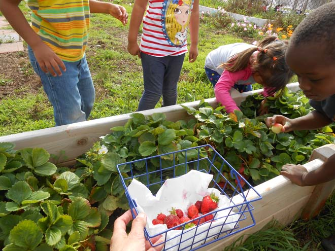 A delicious strawberry crop engages kids in the garden.
