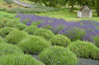 Pacific Horticulture Society | Lavender: Growing Guide