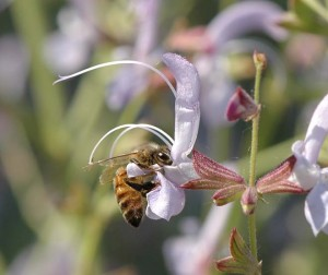 Honey bee on Salvia lavandulifolia Photo: John Whittlesey