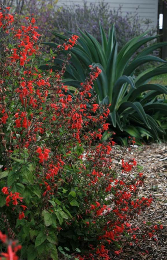 A lush and floriferous Salvia coccinea, with a sculptural agave. Photo: Jennifer Jewell