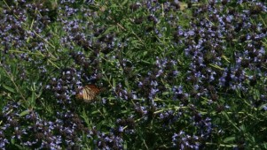 A Monarch butterfly happily nectars in the sun on a bank of Salvia 'Pacific Blue'. Photo: Jennifer Jewell