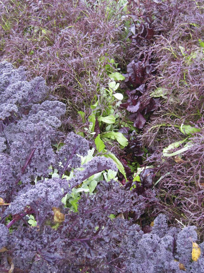 The viniferous hues of 'Redbor' kale, 'Ruby Frills' mustard, and 'Bull's Blood' beet.   Photo: Kate Frey