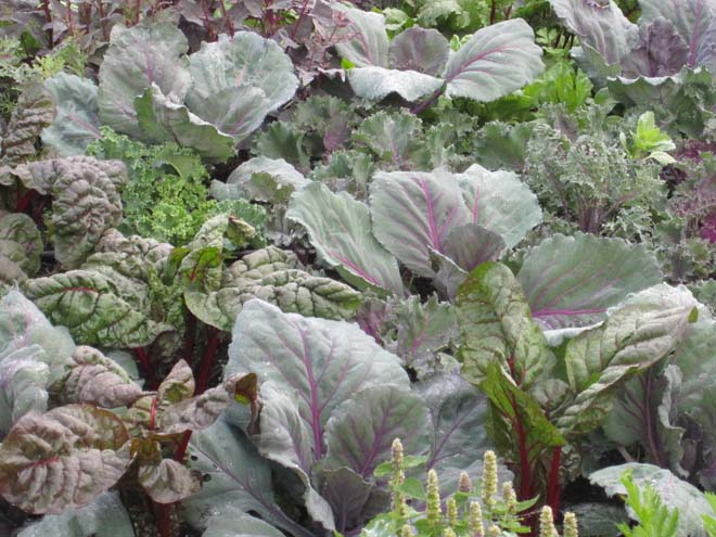 A tonal winter composition of purple cabbage, and 