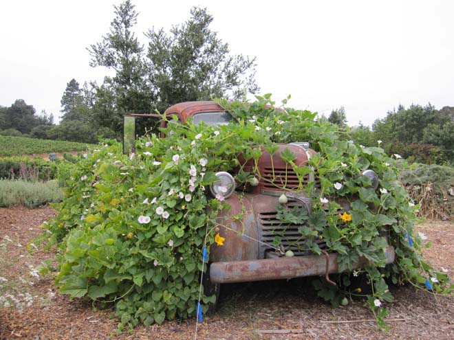 A whimsical planting of large and small fruited gourds clothe an old truck.  Photo: Kate Frey
