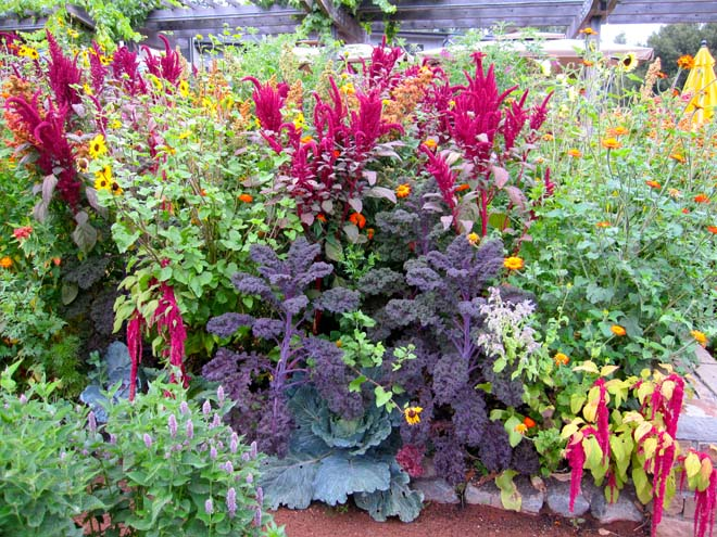 The summer garden in its operatic glory contains a vibrant mix of anise hyssop, Mexican sunflower, 'Redbor' kale, purple cabbage, 