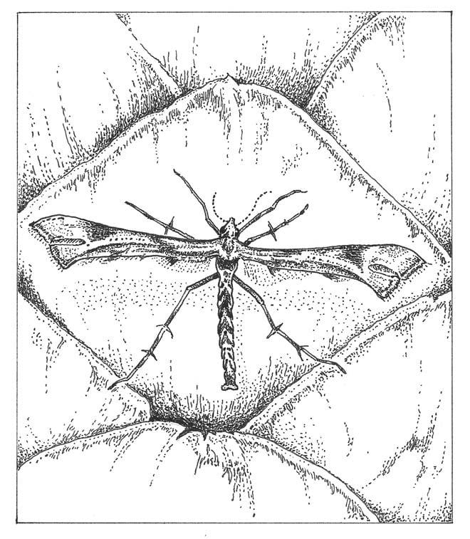Artichoke plume moth (Platyptillia carduidactyla) Illus: Craig Latker