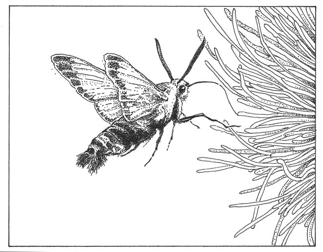 Clearwing bumblebee moth (Hemaris diffinis). Illus: Craig Latker