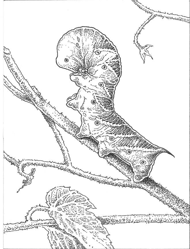 Tomato hornworm (Manduca quinquemaculata). Illus: Craig Latker