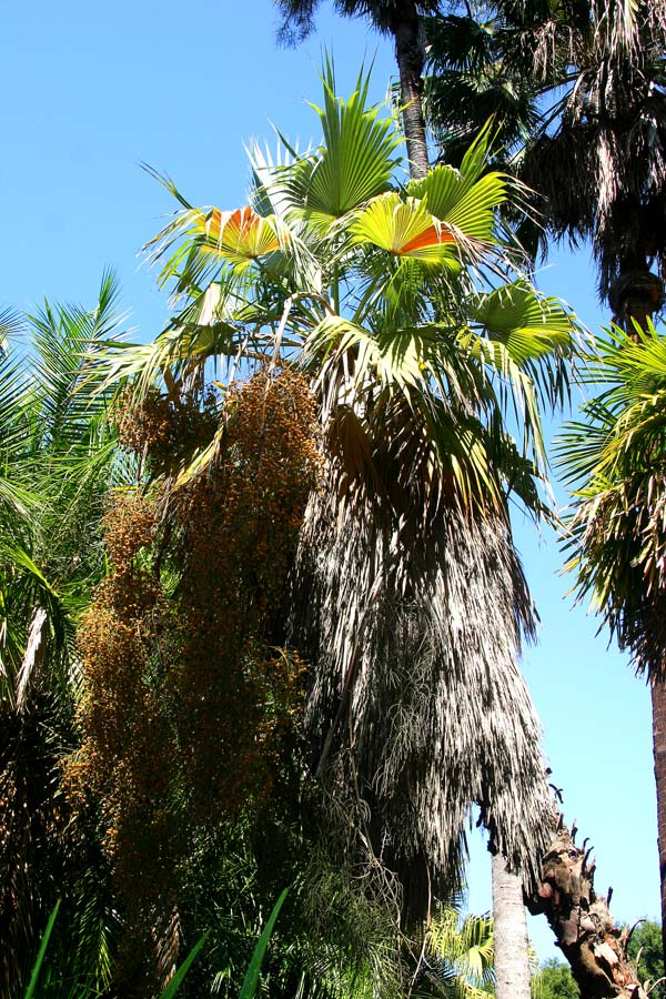 A mature Mexican fan palm (Brahea nitida) at Lotusland.  