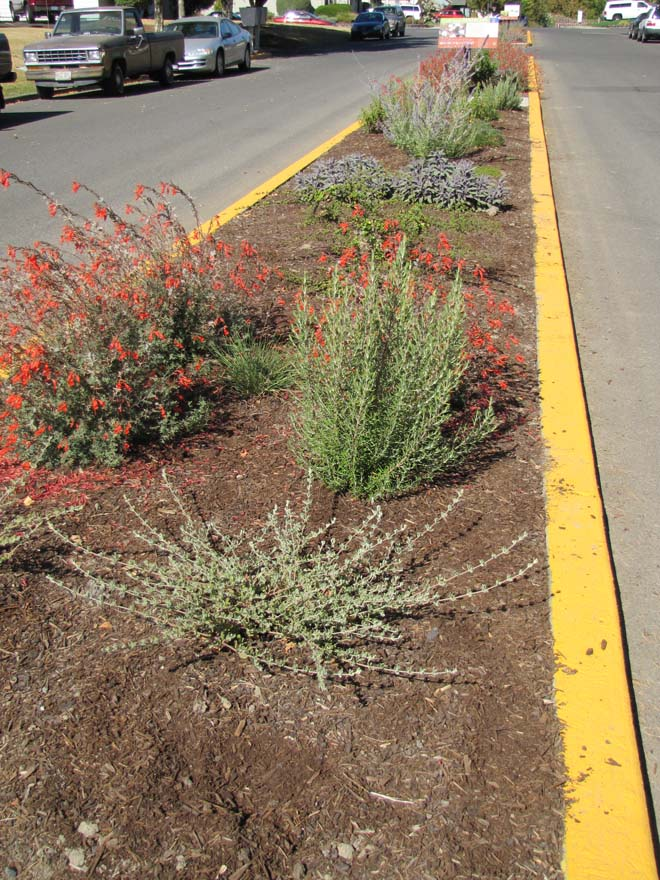 California fuchsia (Epilobium canum) blooms in the Knox Street garden six months after planting. Photo: Neil Bell