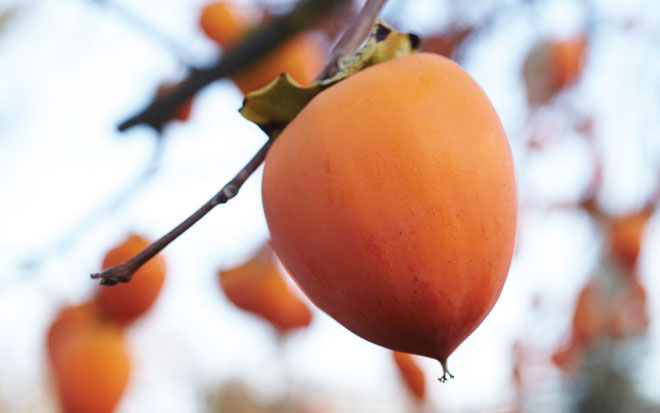 'Hachiya' persimmon.  Photo: David Fenton