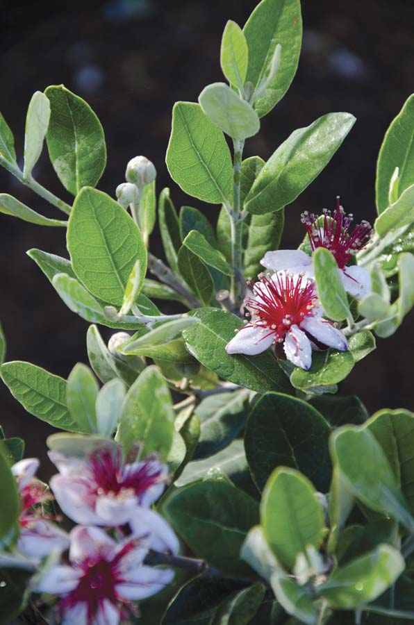 Flowers of the pineapple guava are edible too.  Photo: Jill Rizzo