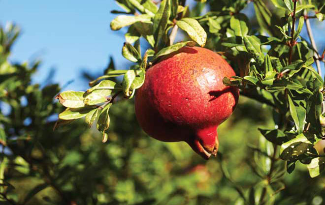 Pomegranate fruit ripen through the summer and fall.  Photo: David Fenton