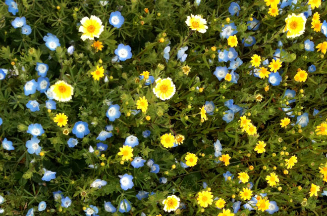 Spring wildflowers on the California Academy of Sciences roof. Photo: Lisa Lee Benjamin