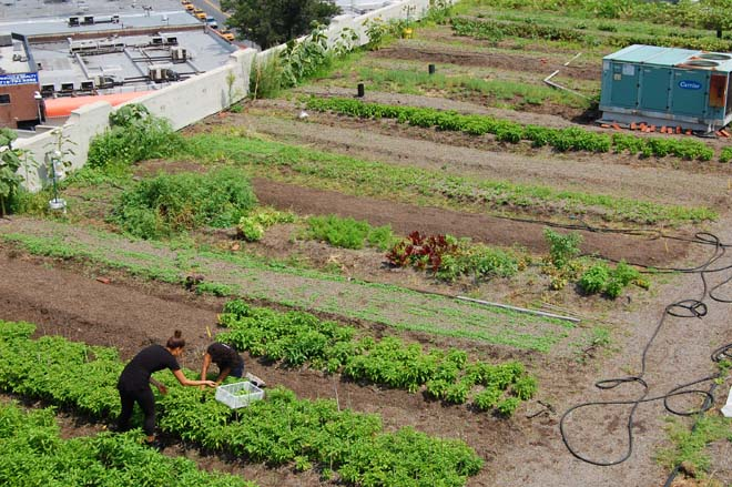 Tidy productive rows at the Brooklyn Grange belie their rooftop location. Photo: Dan Corum