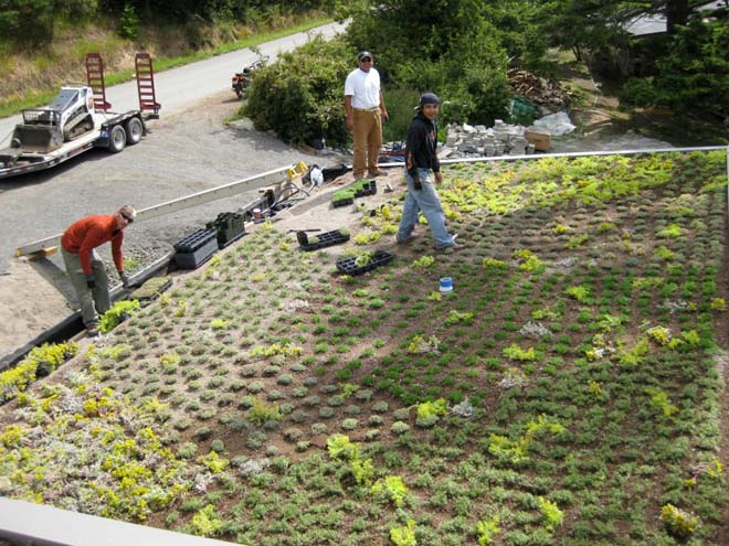 Installing 8,000 contract-grown sedums on the roof of the North Bay project. Photo: Warwick Hubber