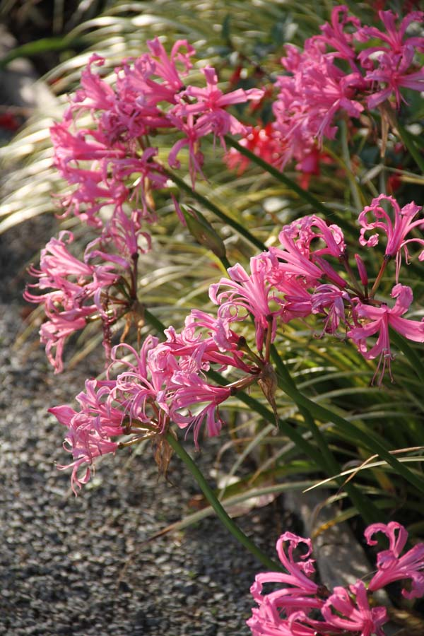 Nerine bowdenii. Photo: Sean Hogan